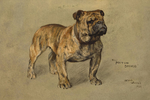 Art Prints of Portrait of a Bulldog, Pen y Lan Duchess by Arthur Wardle