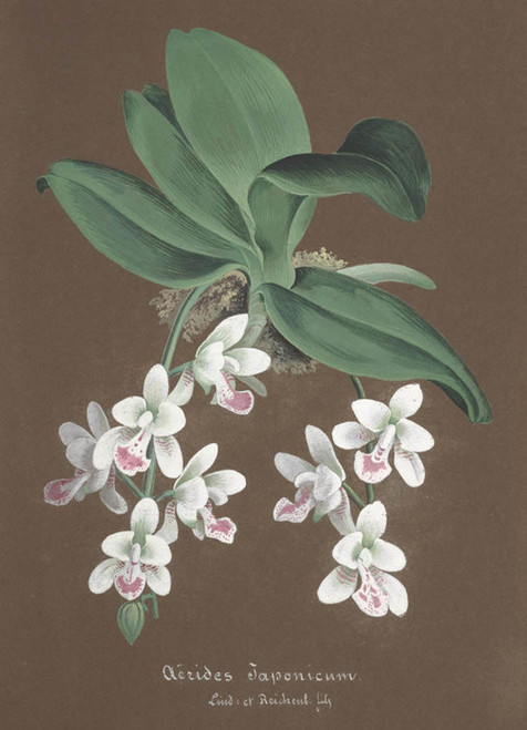 Art Prints of Aerides, No. 75, Orchid Collection