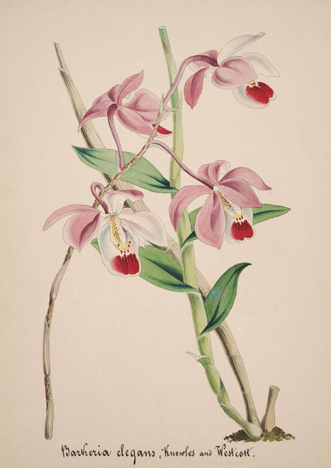 Art Prints of Barkeria, No. 39, Orchid Collection
