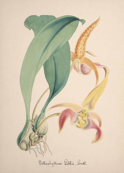 Art Prints of Bulbophyllum, No. 66, Orchid Collection