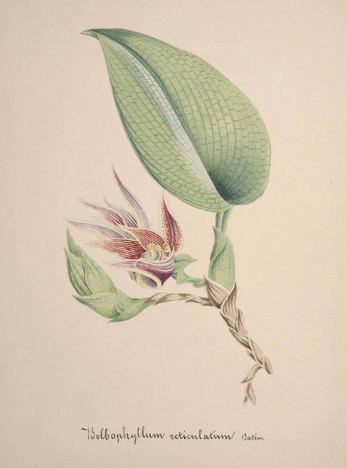 Art Prints of Bulbophyllum, No. 71, Orchid Collection