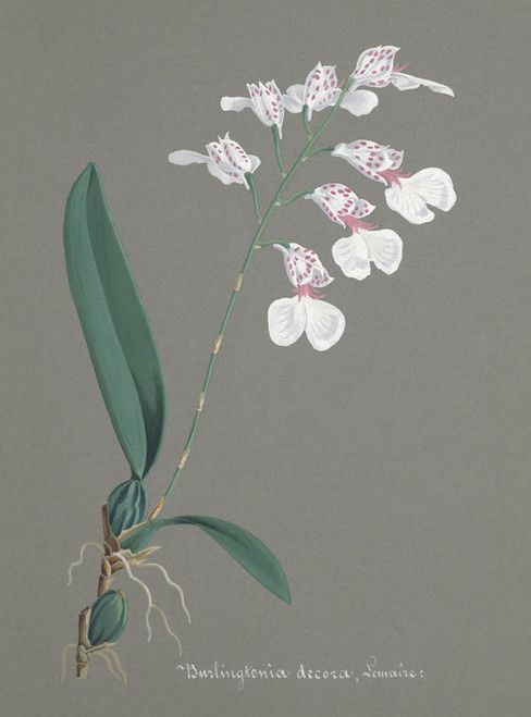 Art Prints of Burlingtonia, No. 68, Orchid Collection