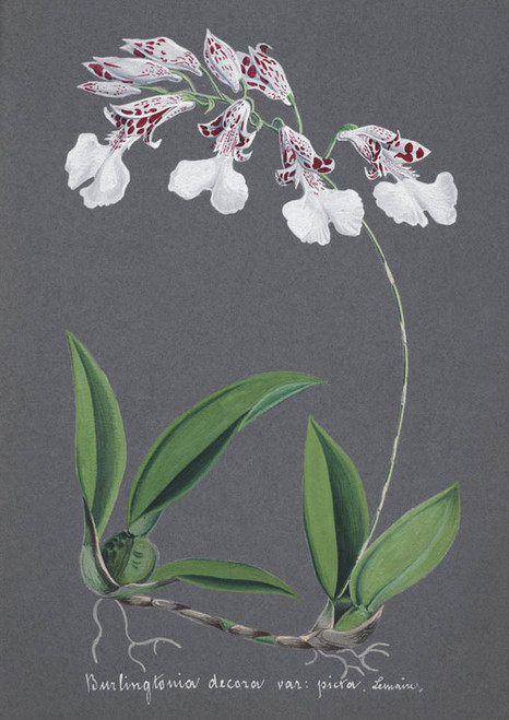 Art Prints of Burlingtonia, No. 50, Orchid Collection