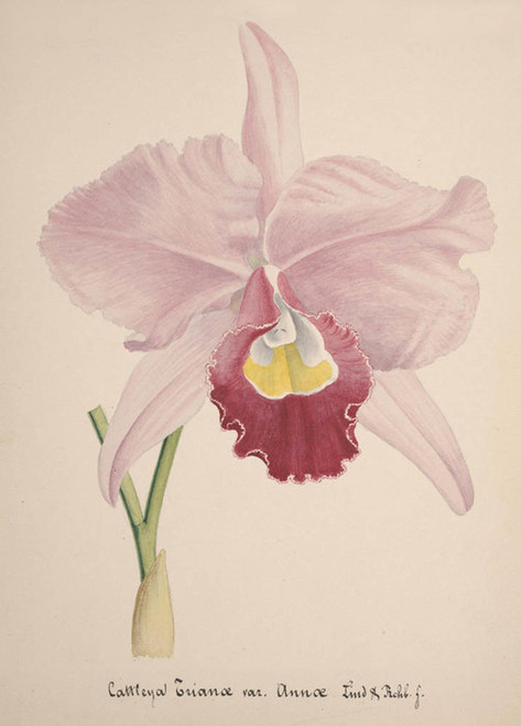 Art Prints of Cattleya, No. 60, Orchid Collection