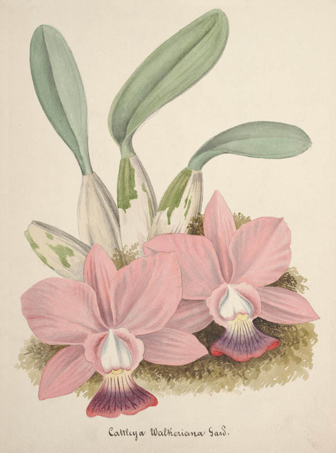 Art Prints of Cattleya, No. 69, Orchid Collection