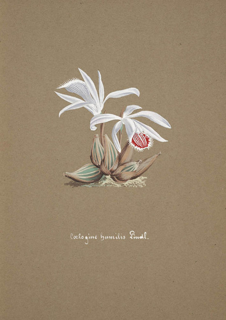 Art Prints of Coelogine, No. 42, Orchid Collection