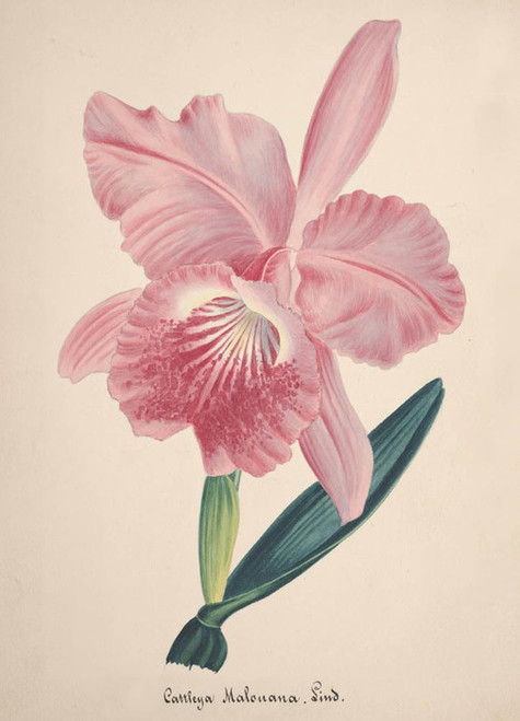 Art Prints of Cattleya, No. 87, Orchid Collection