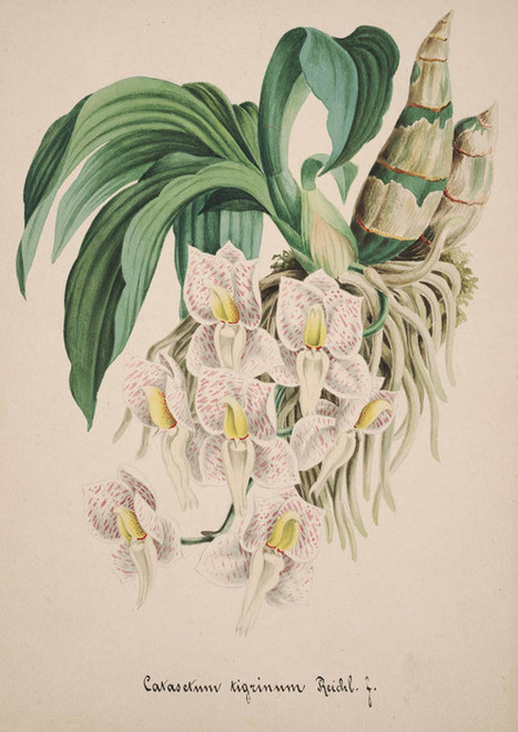 Art Prints of Catasetum, No. 38, Orchid Collection