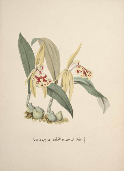 Art Prints of Coelogyne, No. 58, Orchid Collection