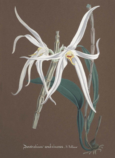 Art Prints of Dendrobium, No. 54, Orchid Collection