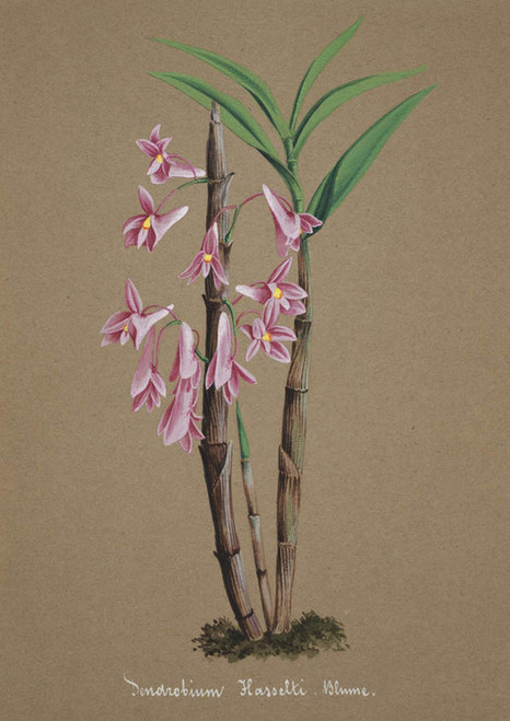 Art Prints of Dendrobium, No. 52, Orchid Collection