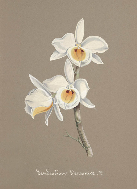 Art Prints of Dendrobium, No. 55, Orchid Collection