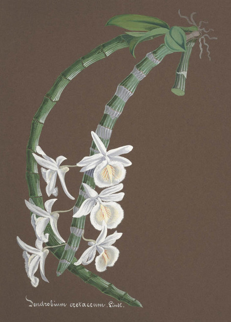 Art Prints of Dendrobium, No. 65, Orchid Collection