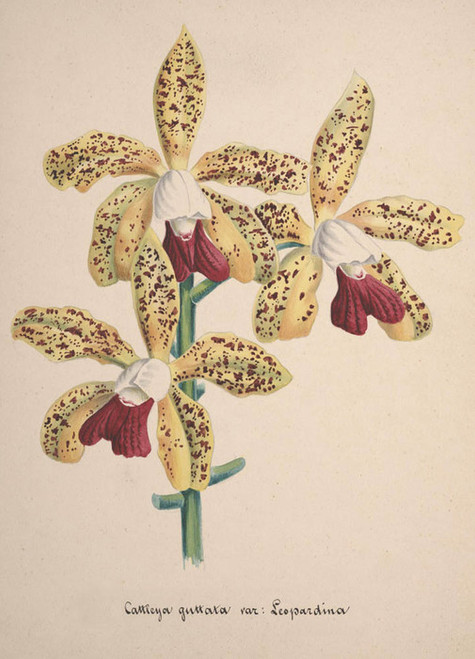 Art Prints of Cattleya, No. 85, Orchid Collection
