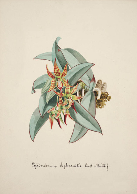 Art Prints of Epidendrum, No. 46, Orchid Collection