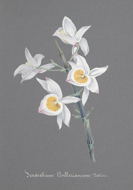Art Prints of Dendrobium, No. 84, Orchid Collection