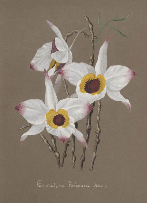 Art Prints of Dendrobium, No. 57, Orchid Collection