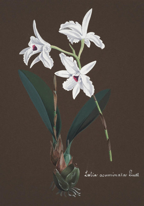 Art Prints of Loelia, No. 37, Orchid Collection