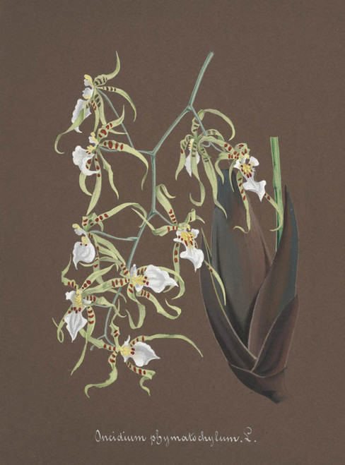 Art Prints of Oncidium, No. 70, Orchid Collection