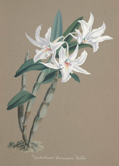 Art Prints of Dendrobium, No. 78, Orchid Collection