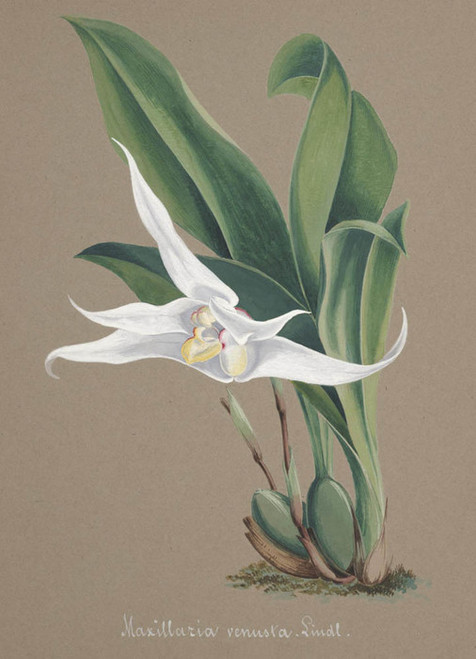 Art Prints of Maxillaria, No. 79, Orchid Collection