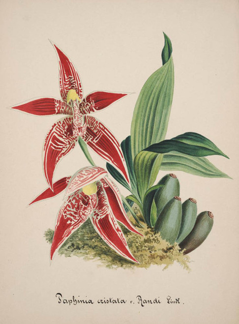 Art Prints of Paphinia, No. 45, Orchid Collection