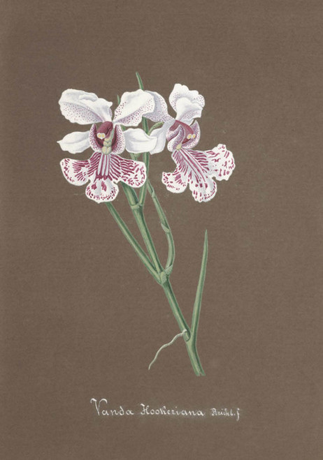 Art Prints of Vanda, No. 81, Orchid Collection
