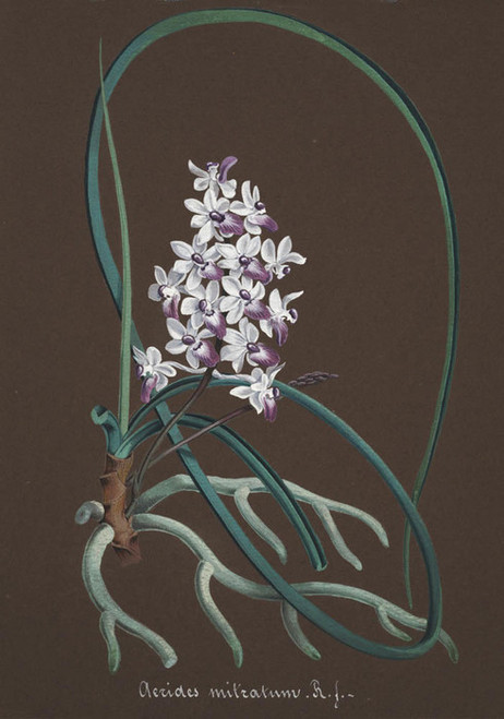 Art Prints of Aerides, No. 27, Orchid Collection