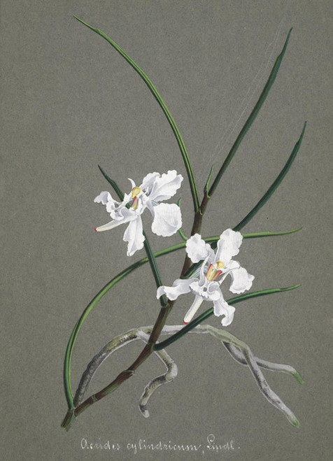 Art Prints of Aerides, No. 21, Orchid Collection