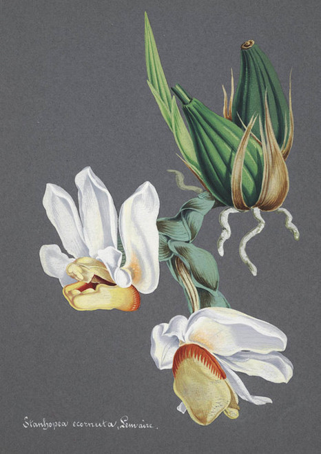 Art Prints of Stanhopea, No. 48, Orchid Collection