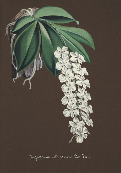 Art Prints of Angroecum, No. 28, Orchid Collection