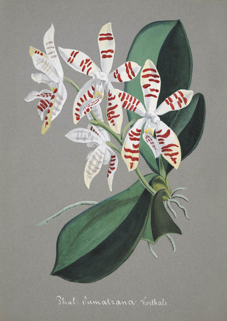 Art Prints of Phalaenopsis Sumatrana, No. 47, Orchid Collection