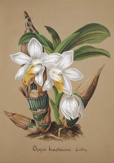 Art Prints of Chysis, No. 32, Orchid Collection