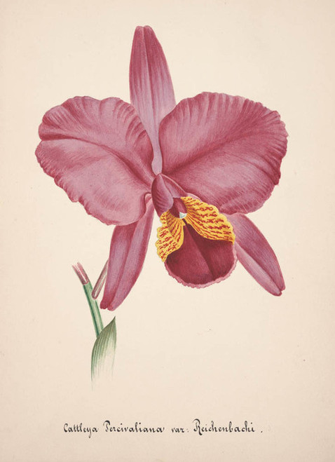 Art Prints of Cattleya, No. 15, Orchid Collection