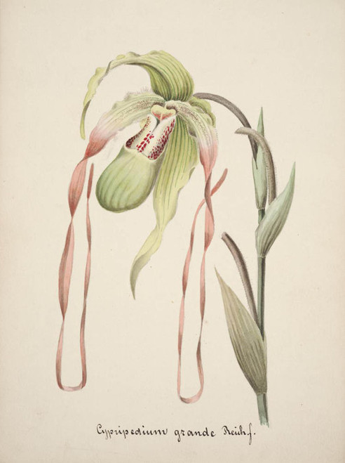 Art Prints of Cypripedium, No. 18, Orchid Collection