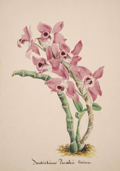 Art Prints of Dendrobium, No. 31, Orchid Collection