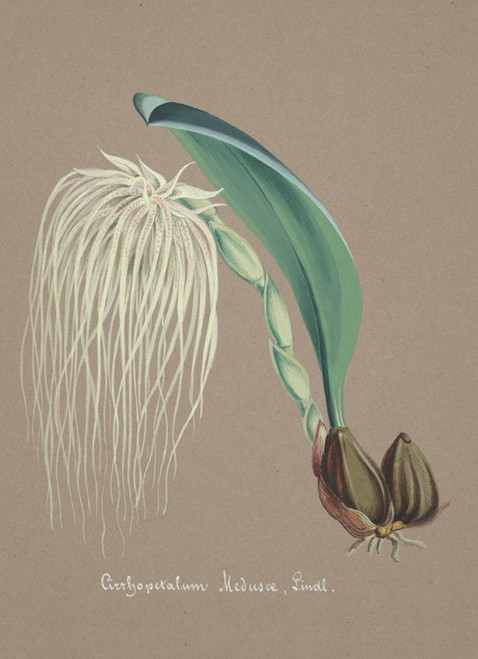 Art Prints of Cirrhopetalum, No. 13, Orchid Collection