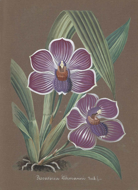 Art Prints of Pescatorea, No. 10, Orchid Collection