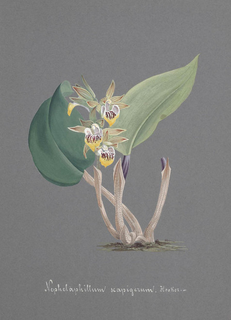 Art Prints of Nephelaphyllum, No. 80, Orchid Collection