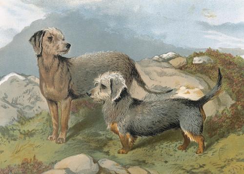 Art Prints of Bedlington and Dandie Dinmont by Vero Shaw