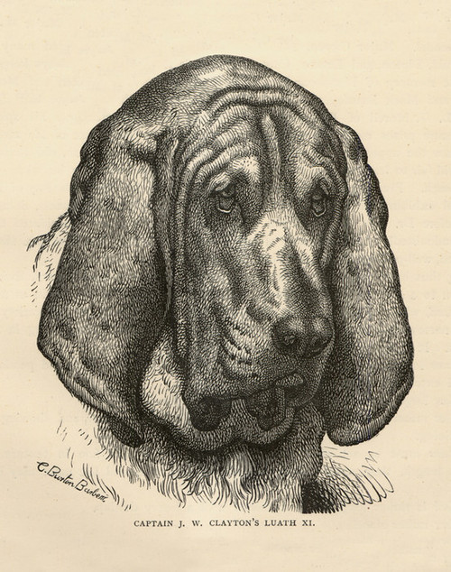 Art Prints of Bloodhound by Vero Shaw