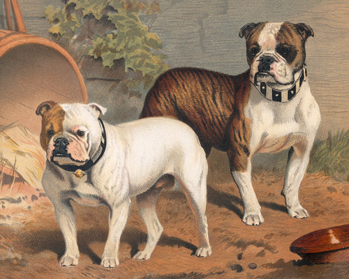 Art Prints of Bulldogs by Vero Shaw