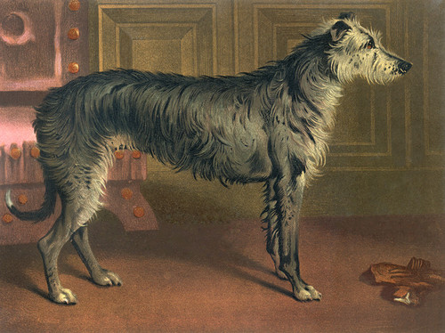 Art Prints of Deerhound by Vero Shaw