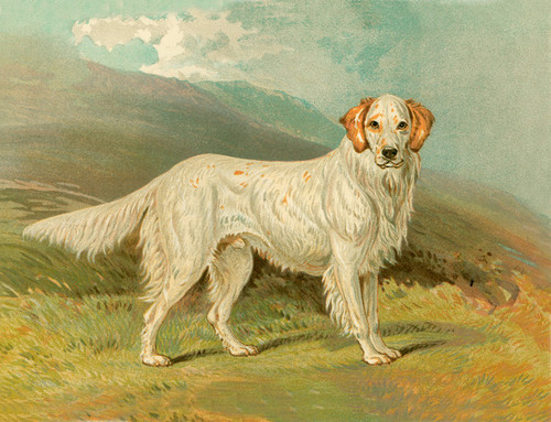 Art Prints of English Setter Ranger by Vero Shaw