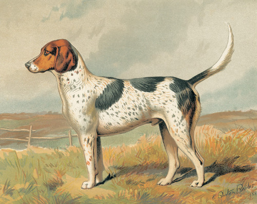 Art Prints of Foxhound by Vero Shaw
