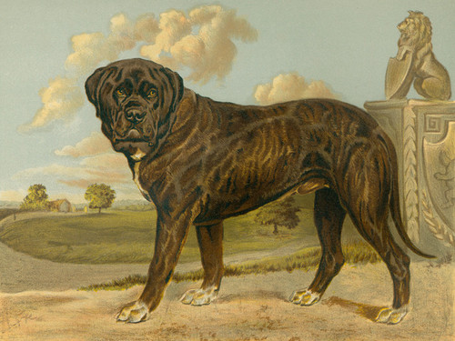 Art Prints of Mastiff by Vero Shaw