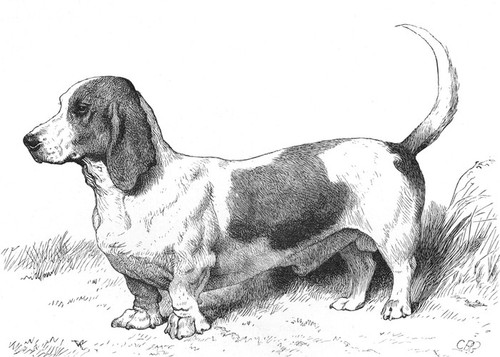 Art Prints of Everett Millais's Basset Hound Model IIII by Vero Shaw