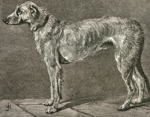 Art Prints of Irish Wolfhound II by Vero Shaw