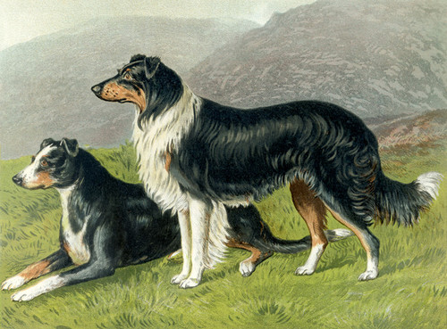 Art Prints of Sheepdogs by Vero Shaw