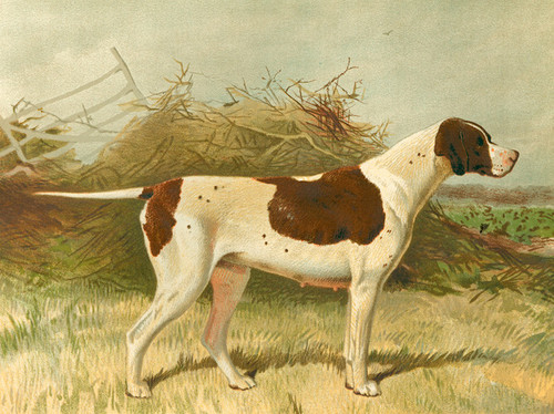 Art Prints of Pointer by Vero Shaw